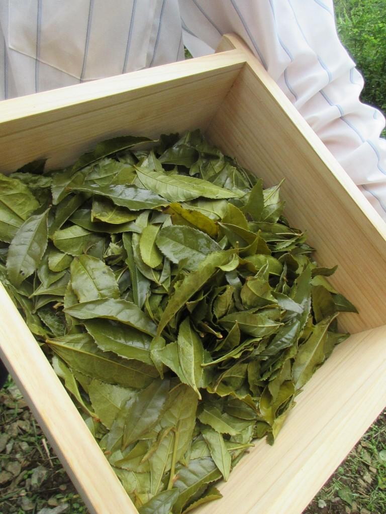 蒸した後の蒸籠の茶葉