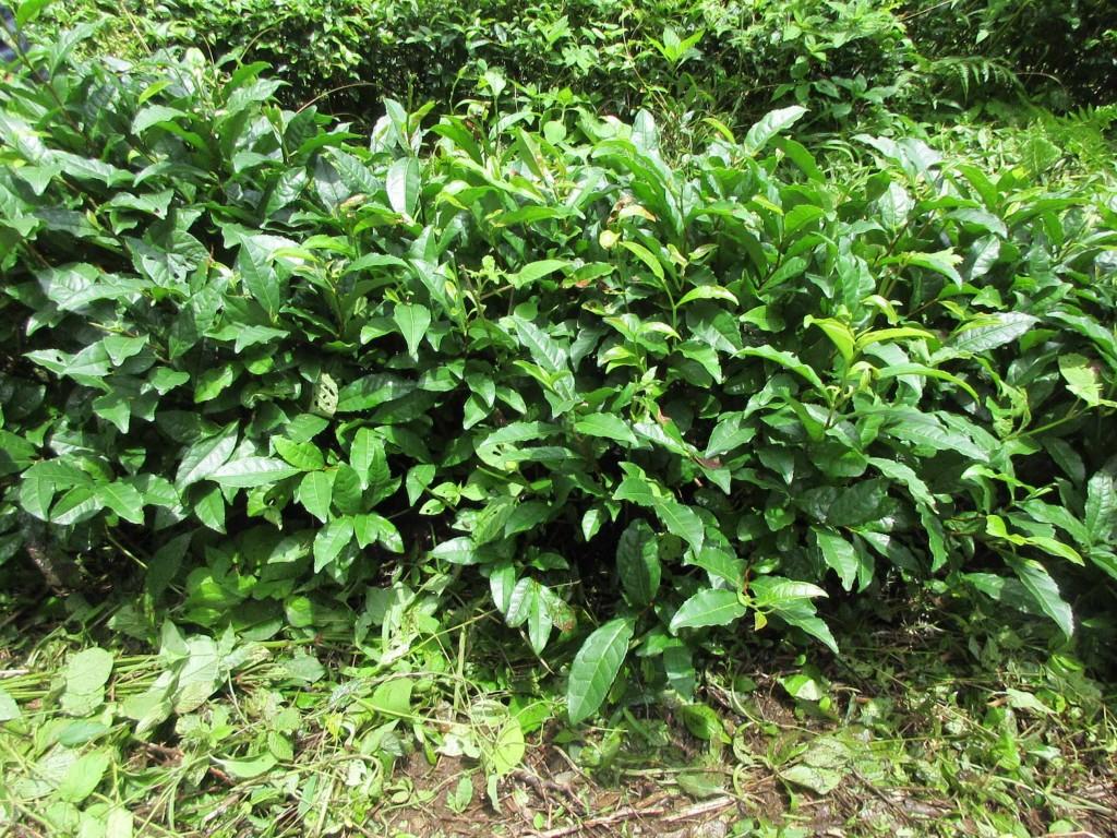 黒茶用茶樹2