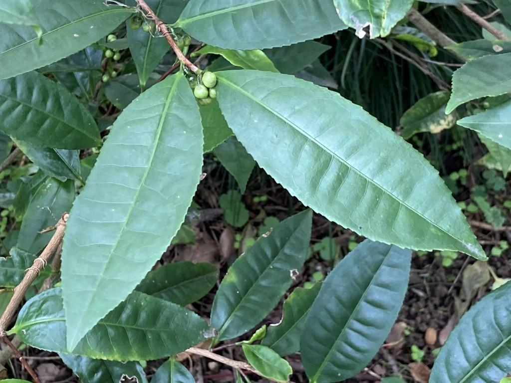 アッサムの葉2