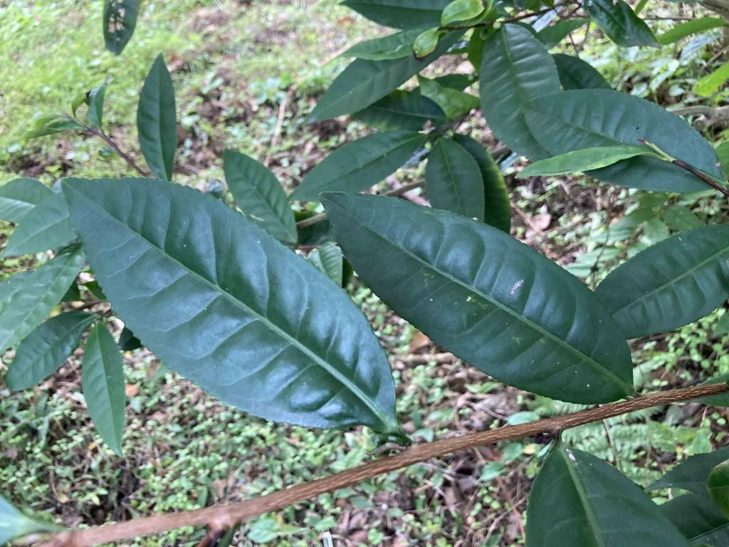 アッサムの葉