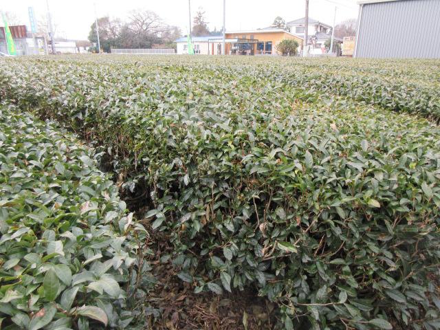 西村園周辺のやぶきたの茶畑