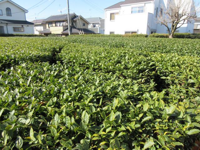木下園 茶畑4