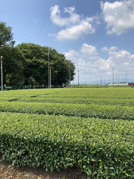 埼玉県茶業研究所 茶畑