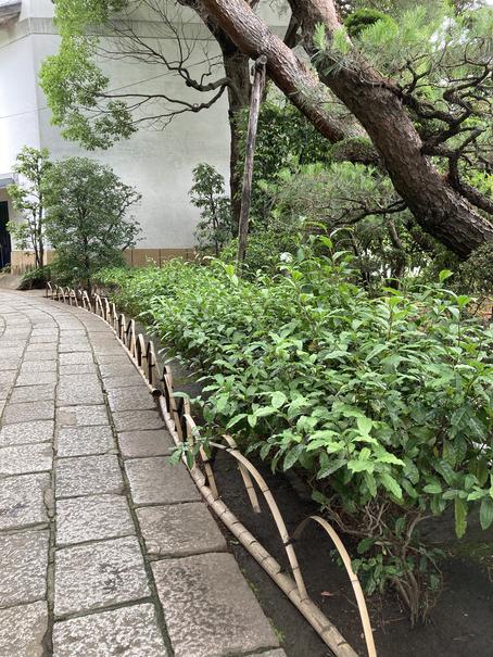 斎田記念館 エントランスの茶の木