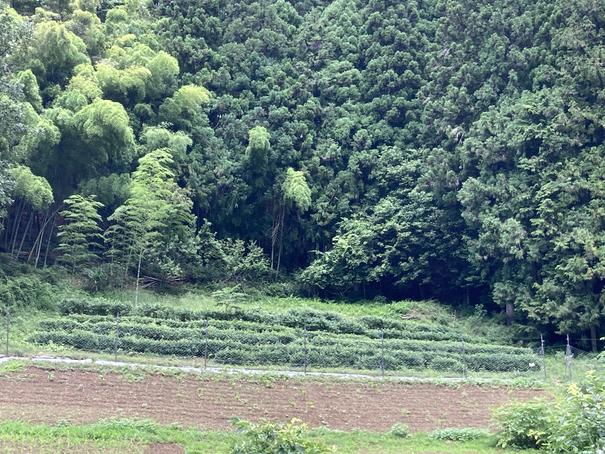 2021檜原村の茶畑